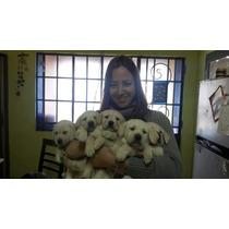 Cachorros De Labrador Puros