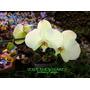 Phalaenopsis Y Cymbidium, Orquideas Variadas Z/mataderos