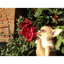 Chihuahuas Minis Los Mas Lindos Con Pedigree