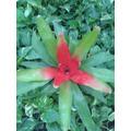 Nidularium Sp. M18 (bromelia) Planta De Interior. Envíos