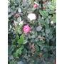 Rosa Rococo - Envios