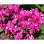 Santa Rita/ Bougainvillea Glabra- Varios Colores- Envase 3lt