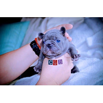French Bulldogs Exotics Colors Hembras