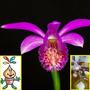 Bulbos Flor Orquidea Pleione Tongariro X 1 Bulbos-semillas
