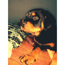 Cachorros Rottweilers Listos Para Entregar (2 Meses De Edad)