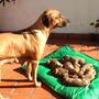 Cachorros Rhodesian Ridgeback - Nacidos El 6/7/2016