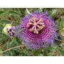 Maracuyá Silvestre Passiflora Cincinnata Fruta Semillas