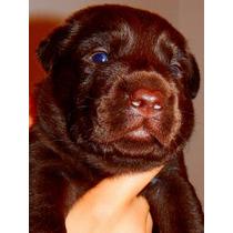 Cachorros De Labrador Retriever Criadero Calquin
