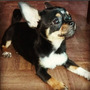 Chihuahua Hembra 7 Meses Con Papeles-fca