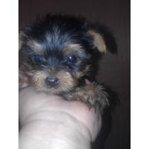 Hermosas Cachorras Yorkshire Terrier Mini Mini Hembras