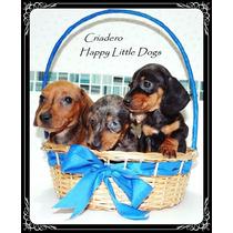 Salchichas Mini Hermosos Cachorros Machitos Arlequines