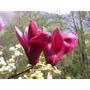 Magnolia Purpurea O Liliflora, Mulan, Tulipán O Lirio