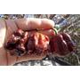 Pimienta Habanero Chocolate Semillas Para Plantas