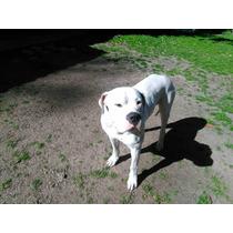 Cachorros De Dogo Argentino , Nacidos El 21 De Julio
