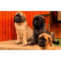Mastiff Ingles (cachorros)
