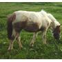 Pony Tobiana De Un Año De Edad