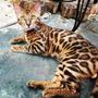Vendo Cachorros De Gatos Bengal Excelente Pedigree