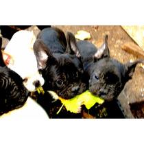 Bulldog Frances Atigrado Fca Mercado Pago Todas Las Tarjeta