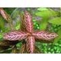 Hygrophila Polysperma-rosanervig - Planta De Acuario