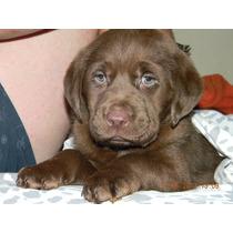 Cachorros Labradores Retriever Chocolate, Dorados Unicos!!