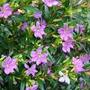 Plantines Florales - Ericas C. X 10 Uni. N°12- $130