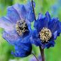 Semillas Amapola Azul Del Himalaya