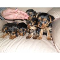 Yorkshire Terrier, Muñecos De Peluche!!!!!!!!!!!!