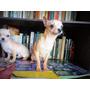 Chihuahua Mini Macho Uno 4 Meses Y 8 Meses, Page Mp.