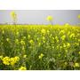 Mostaza Negra - Brassico Nigra - Semillas Para Plantas
