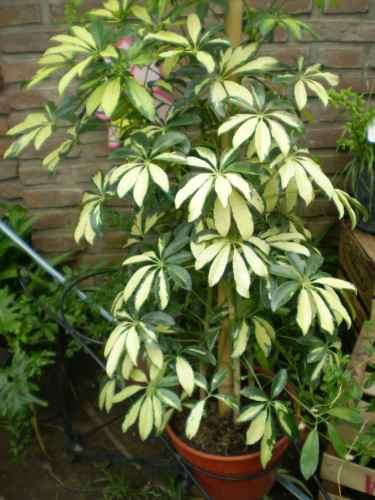 aralia schefflera arbusto plantas de interior vivero en mercado libre