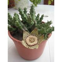 Cactus De Flor Atigrada Stapelia