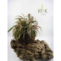 Kokedama Bromelia Cryptanthus - Kok Arte Natural
