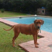 Cachorros Rhodesian Puros