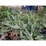 Plantas De Aloe Distintas Medidas Quilmes Centro