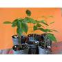 Plantines De Guanabana .fruta Tropical Comestible