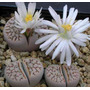 Lithops - Plantas Piedras Packs 20 Semillas + Manual Cultivo