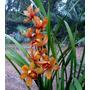 Orquideas Cymbidium