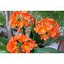 Clivias Naranjas 2ltrs Plantas