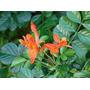 Bignonia Capensis Naranja:planta Trepadora 1,50-2 M.