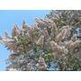 1000 Semillas De Kiri - Princess Tree - Paulownia Tormentosa