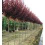 Prunus Pisardi/falso Ciruelo/ciruelo Japonés+ 1 Bolsa Tierra