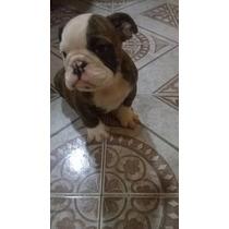Hermoso Cachorro Bulldog Ingles!! Machos!!