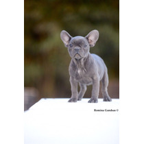 Bull Dog Frances Blue Cachorro Hembra