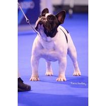 Bulldog Frances Machos Y Hembras Hijos Del Mejor!!!