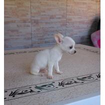 Chihuahuas B L A N C O S Minis!!! Pedigree Fca