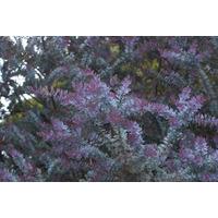 Acacia Baylellana Rubra 120-150cm De Altura Vivero Iris