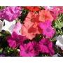 Cajon Plantines Plantas Petunias Flores De Estacion Vivero
