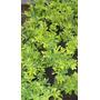 Plantas De Durantas M12 Los Aromos Net