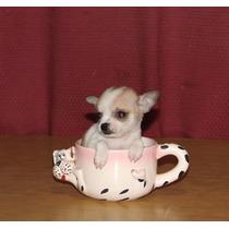 Chihuahuas De Bolsillo Vacunados Y Des. Los Mas Lindos
