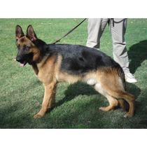 Seguridad-guardia-defensa Perros Ovejeros Alemanes